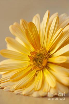 Soft Marigold Print by Anne Gilbert