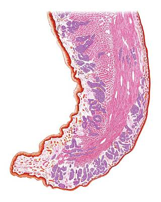 Soft Palate And Uvula Print by Asklepios Medical Atlas