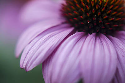 Coneflowers Photograph - Softly by Heather Applegate