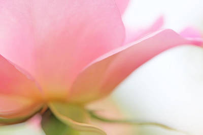 Rose Portrait Photograph - Softness Of A Pink Rose Flower by Jennie Marie Schell