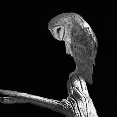 Solitary Owl Original by Suzanne Gaff