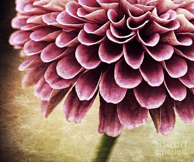Zinnia Elegans Photograph - Somber Beauty by Chris Fleming