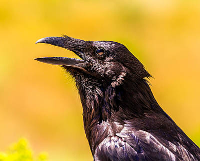 American Crow Photograph - Song Of The Raven by TL  Mair