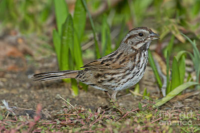 Song Sparrow Eating Seeds Print by Anthony Mercieca