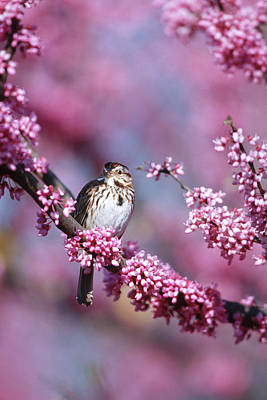 Redbud Photograph - Song Sparrow (melospiza Melodia by Richard and Susan Day