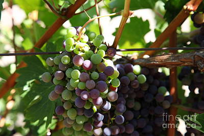 Sonoma Vineyards In The Sonoma California Wine Country 5d24578 Print by Wingsdomain Art and Photography