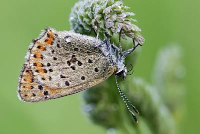 Sooty Copper Butterfly Print by Heath Mcdonald
