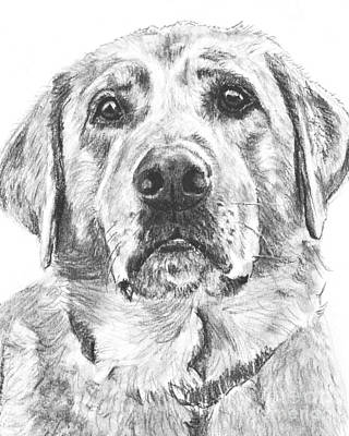 Lab Drawing - Soulful Lab Face by Kate Sumners