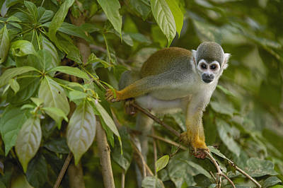 South American Squirrel Monkey Amazonia Print by Pete Oxford