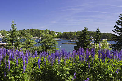 South Bristol And Lupine Flowers On The Coast Of Maine Print by Keith Webber Jr