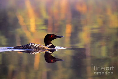 Loon Photograph - South Cove Loon by Jim Block