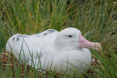 Albatross Photograph - South Georgia Prion Island Wandering by Inger Hogstrom
