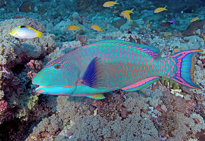 Parrotfish Photograph - South Pacific, Solomon Islands, Meri by Jaynes Gallery