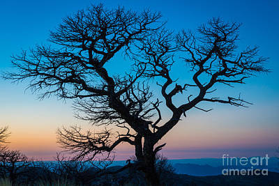 South Rim Tree Print by Inge Johnsson