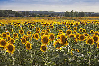 Field Of Crops Photograph - South West Sunflowers by Georgia Fowler