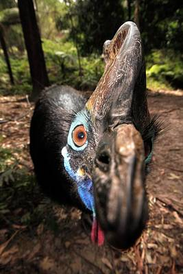 Wattle Photograph - Southern Cassowary by Gerry Pearce