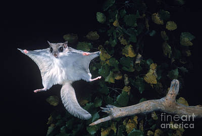 Southern Flying Squirrel Print by Nick Bergkessel Jr
