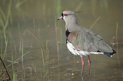 Lapwing Photograph - Southern Lapwing In Marshland Pantanal by Tui De Roy