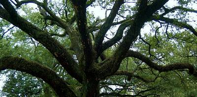 St Charles Avenue Photograph - Southern Live Oak by Christopher James