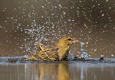 Southern Masked Weaver Bathing Print by Tony Camacho