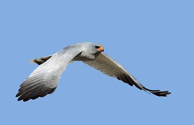 Of Birds Photograph - Southern Pale Chanting Goshawk In Flight by Johan Swanepoel