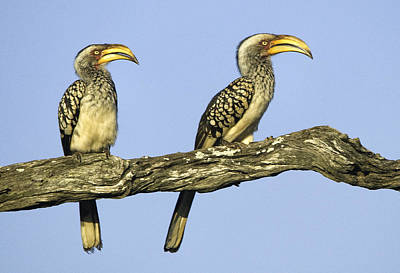 Southern Yellow-billed Hornbill Original by Andrew Oliver