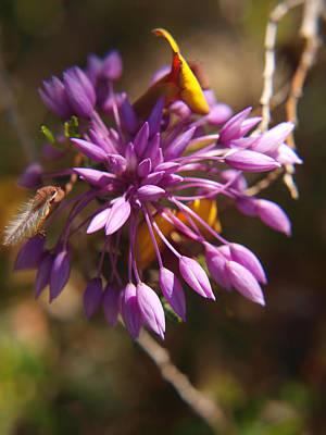 Sowerbaea Laxiflora Print by Michaela Perryman