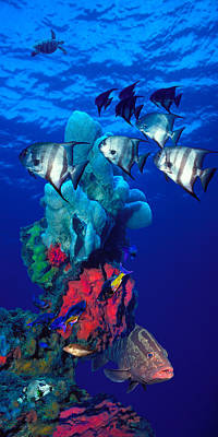 Spadefishes With Nassau Grouper Print by Panoramic Images