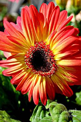 Gerbera Daisy Photograph - Spanish Coloured Gerbera by Clare Bevan