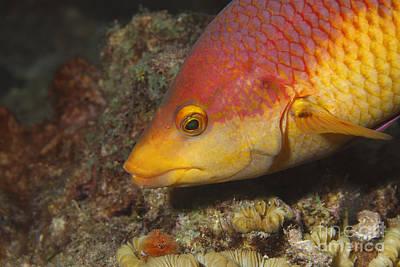 Underwater Photograph - Spanish Hogfish by Vanessa Devolder