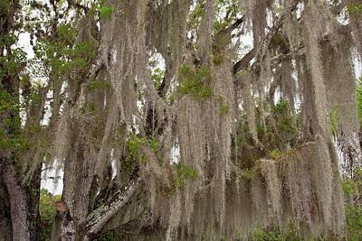 Epiphyte Photograph - Spanish Moss Growing On Wild Tamarind by Bob Gibbons