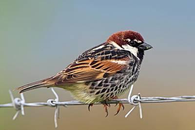 Spanish Sparrow On Barbed Wire Print by Bildagentur-online/mcphoto-schaef