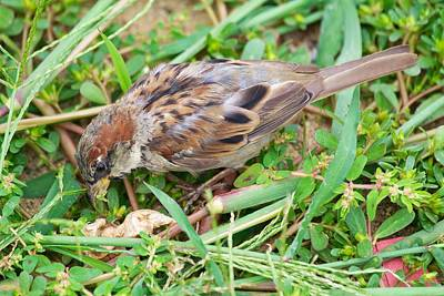 Birds Photograph - Sparrow 2 by Allan Morrison