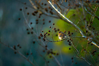 Sparrow In The Warm Light Print by Shelby  Young