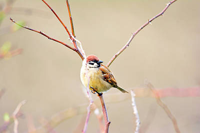 Sparrow On Branch  Original by Toppart Sweden