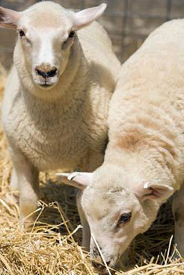 Specially Bred Lambs Print by Peggy Greb/us Department Of Agriculture