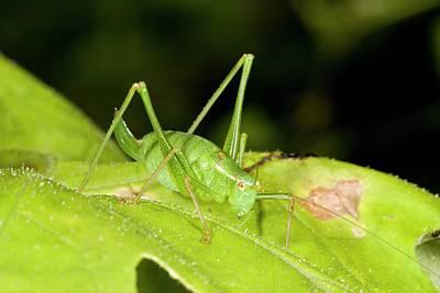 Speckled Bush-cricket On Corncockle Print by Bob Gibbons