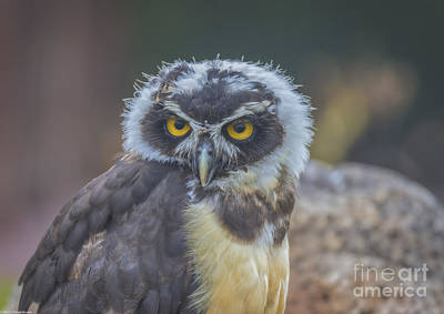 Spectacle Owl Print by Mitch Shindelbower