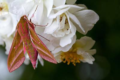 Sphinx Moth On A Rose Print by Mr Bennett Kent