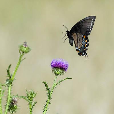 David E Lester Photograph - Spicebush Swallowtail 1 by David Lester