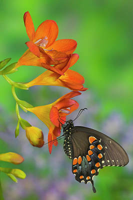 Blue Swallowtail Photograph - Spicebush Swallowtail, Papilio Troilus by Darrell Gulin