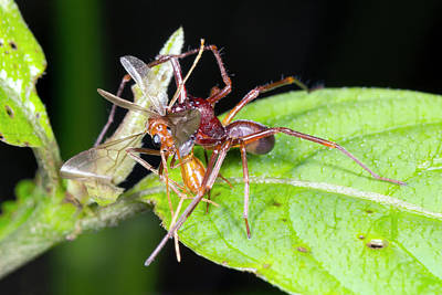 Flying Spider Photograph - Spider Feeding On A Flying Ant by Dr Morley Read