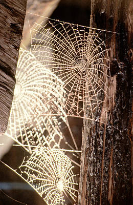 Spider Photograph - Spider Webs by Anonymous