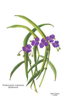 English Gouache Painting - Spiderwort by Judy Gilman