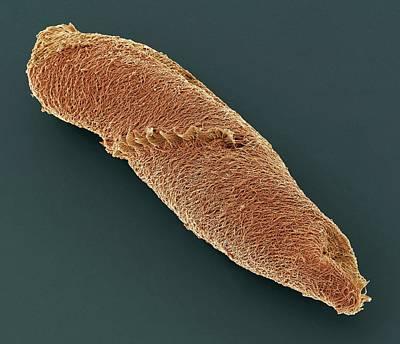 Spirostomum Ciliate Protozoan Print by Steve Gschmeissner