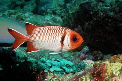 Splendid Soldierfish On A Reef Print by Georgette Douwma