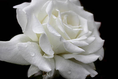 Ivory Rose Photograph - Splendor Of A White Rose Flower  by Jennie Marie Schell