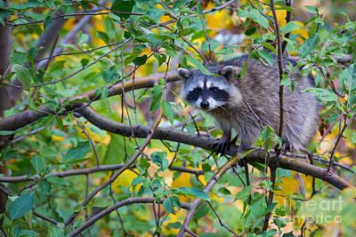 Raccoon Photograph - Spokane Raccoon by Inge Johnsson