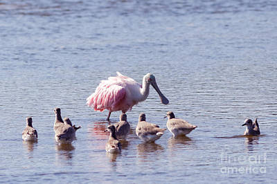 Spoonbill And Willets Print by Natural Focal Point Photography