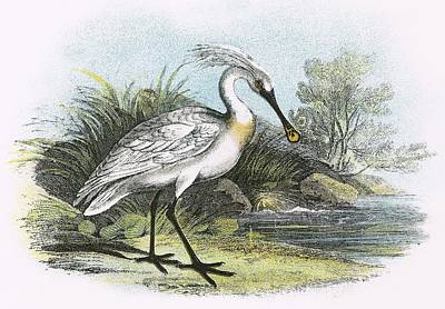Spoonbill Drawing - Spoonbill by English School